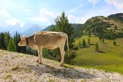 Una vaca de pasto, dolomías, Italia imagenes de archivo
