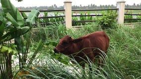 Una vaca en el jardín verde metrajes