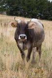 Una vaca en pasto Imagenes de archivo