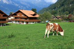 Una vaca en pastos verdes en Suiza Fotografía de archivo