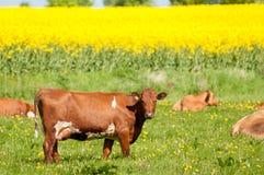 Una vaca en un campo con la hierba y los dientes de león Imágenes de archivo libres de regalías