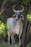 Una vaca - fuente de Leche-energía Imagen de archivo