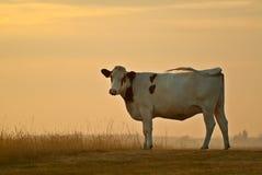Una vaca holandesa remolina su cola durante puesta del sol Foto de archivo libre de regalías