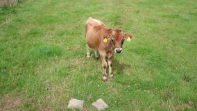Una vaca marrón almacen de video