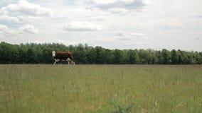 Una vaca marr?n camina a trav?s de un prado en un fondo del bosque y del cielo azul almacen de video