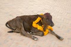 Una vaca marrón india con una guirnalda de la flor alrededor de su cuello y un punto rojo en su frente Vaca festiva imagenes de archivo