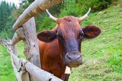 Retrato de una vaca cerca de la cerca fotografía de archivo