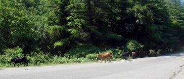 Una vaca que va en el camino Imagenes de archivo