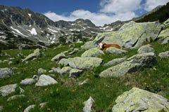 Una vaca se coloca entre las rocas en las montañas Imagenes de archivo