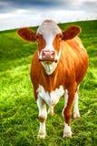 Una vaca se está colocando en un prado verde Fotografía de archivo libre de regalías