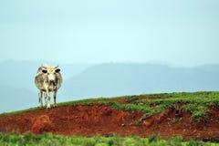 Una vaca sola Imagenes de archivo
