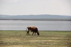 Una vaca sola Imagen de archivo libre de regalías