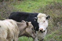 Una vaca y un toro en una granja foto de archivo libre de regalías