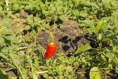 Una vaina de la pimienta roja Foto de archivo libre de regalías