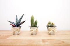 Una variedad de cactus en potes Foto de archivo libre de regalías