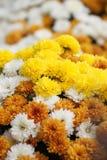 Una variedad de crisantemos coloreados colocados juntos para hacer una acción de gracias dispplay Fotografía de archivo