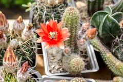 Una variedad de flores de los cactus que florecen en potes Fotografía de archivo