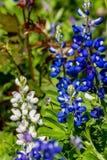 Una varietà BIANCA RARA di Texas Bluebonnet famoso fotografia stock libera da diritti