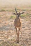 Una vecchia gazzella araba maschio durante le ore di primo mattino La Doubai, UAE Fotografia Stock