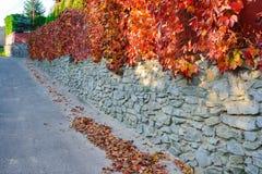 Una vecchia parete di pietra lungo una strada rurale su cui appende ed aderisce vite gialla e rosso arancio di autunno con le fog immagini stock