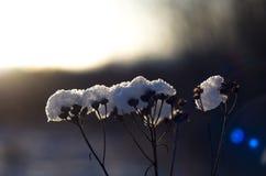 Una vecchia pianta nell'inverno Immagine Stock Libera da Diritti