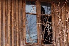 Una ventana con el vidrio quebrado en una casa de madera vieja abandonada, rodeada por las ramas de uvas salvajes Visión desde la imagenes de archivo