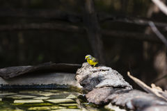 Una venuta color giallo canarino per l'acqua fotografia stock libera da diritti