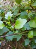 Una verde mariposa fotografia stock