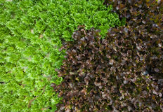 Una verdura organica fresca di due colori Fotografia Stock Libera da Diritti