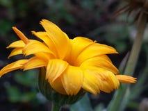 Una versión más brillante de la flor amarilla Imágenes de archivo libres de regalías
