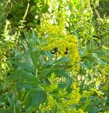 Una vespa che impollina un fiore Fotografie Stock
