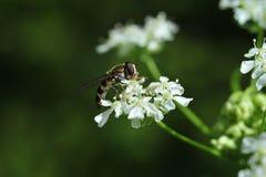 Una vespa che raccoglie nettare immagine stock