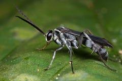Una vespa nera grigiastra del ragno Immagini Stock Libere da Diritti