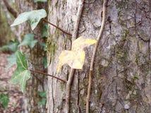 Una vid de la hiedra con una hoja amarilla de la hiedra Fotos de archivo libres de regalías