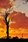Una vieja puesta del sol australiana muerta grande del árbol de goma interior Imagenes de archivo