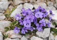 Una viola alpina nelle alpi austriache Fotografie Stock