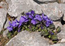 Una viola alpina nelle alpi austriache Fotografia Stock