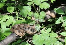 Una vipera cornuta su un ramo Immagini Stock
