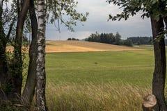 Una visión sobre los abedules en los campos verdes y amarillos Fotografía de archivo