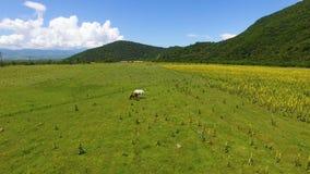 Una vista aerea di due bei cavalli che pascono sul campo, mangiante erba verde fresca video d archivio