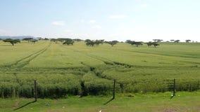 Una vista da una guida di veicoli vicino ad un campo con grano e l'acacia archivi video