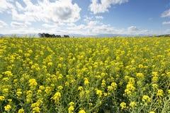 Una vista de detalles de las flores del Canola Imagen de archivo libre de regalías
