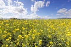 Una vista de detalles de las flores del Canola Foto de archivo