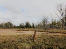 Una vista de la parte posterior del canguro fotos de archivo