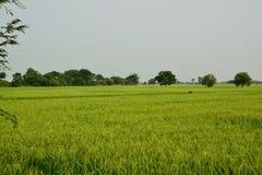 Una vista de los campos del arroz Foto de archivo