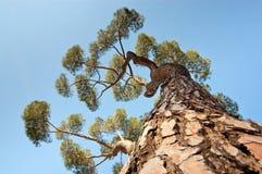 Una vista de un árbol de pino de debajo Imágenes de archivo libres de regalías