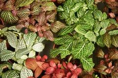 Una vista desde arriba del Phytonia colorido arbustos imagenes de archivo