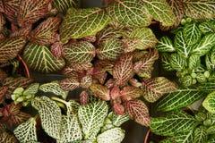 Una vista desde arriba del Phytonia colorido arbustos foto de archivo libre de regalías