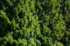 Una vista dettagliata della corona di un arbusto Fotografie Stock