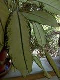 Una vista dettagliata della pianta lascia in vaso Fotografia Stock Libera da Diritti